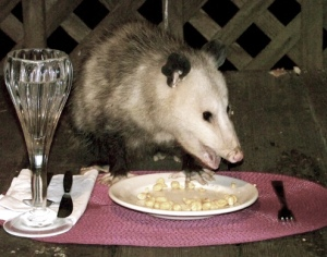 possum-with-placemat